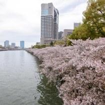 再び源八橋を渡って桜ノ宮駅側に行きます。これは下流側を見たところ。両岸に桜がいっぱい。