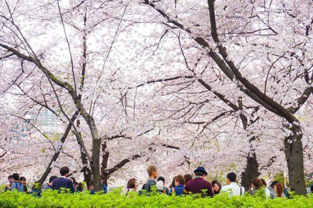 大阪桜-DSC07862.jpg